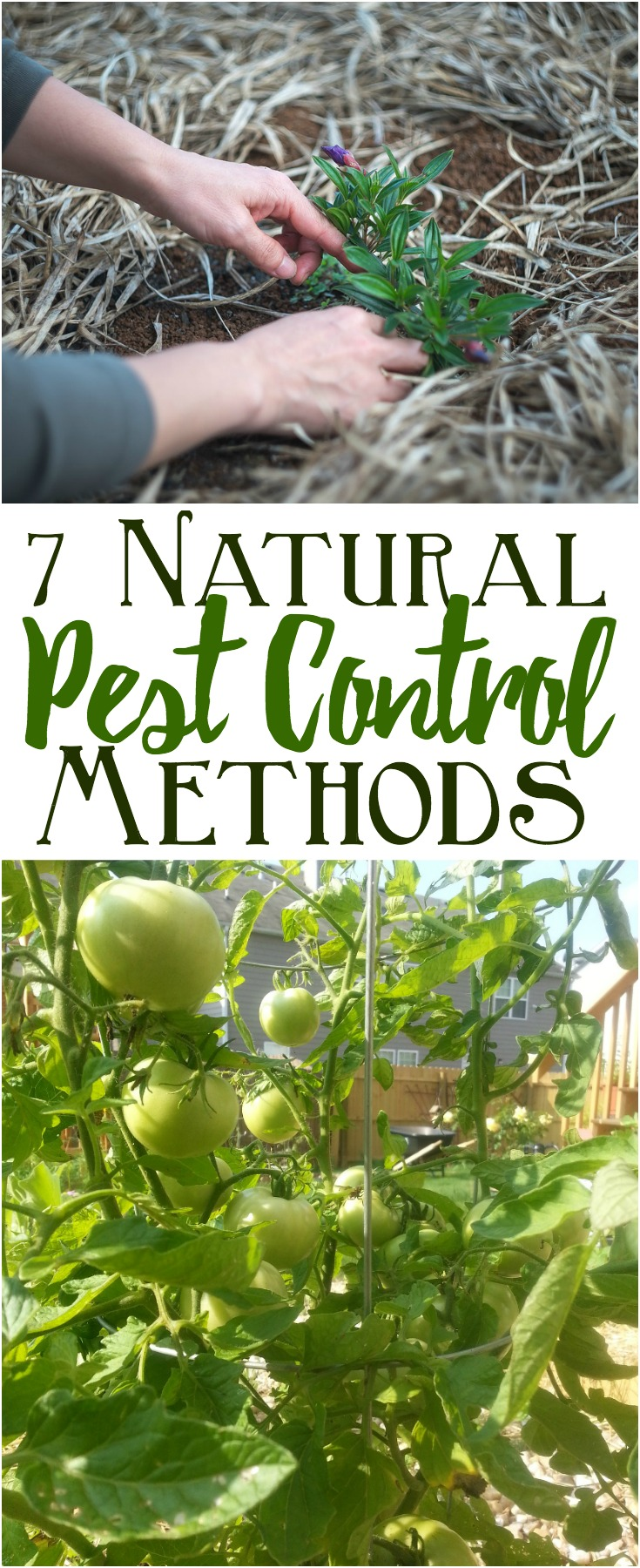 Try these natural pest control methods for garden pest control! Natural sprays, soil fertility and companion planting can help reduce or eliminate unwanted pests in your garden and help your garden thrive.