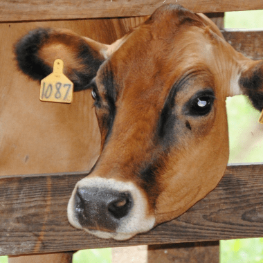 7 Reasons to Drink Raw Milk (Benefits, Safety and Facts)