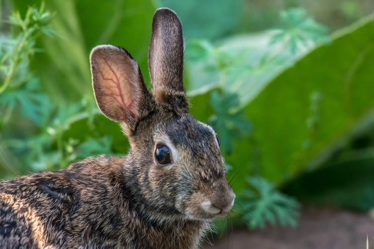 Rabbits are cute until they get into your garden. Thankfully there are several ways to keep rabbits out of your garden naturally.