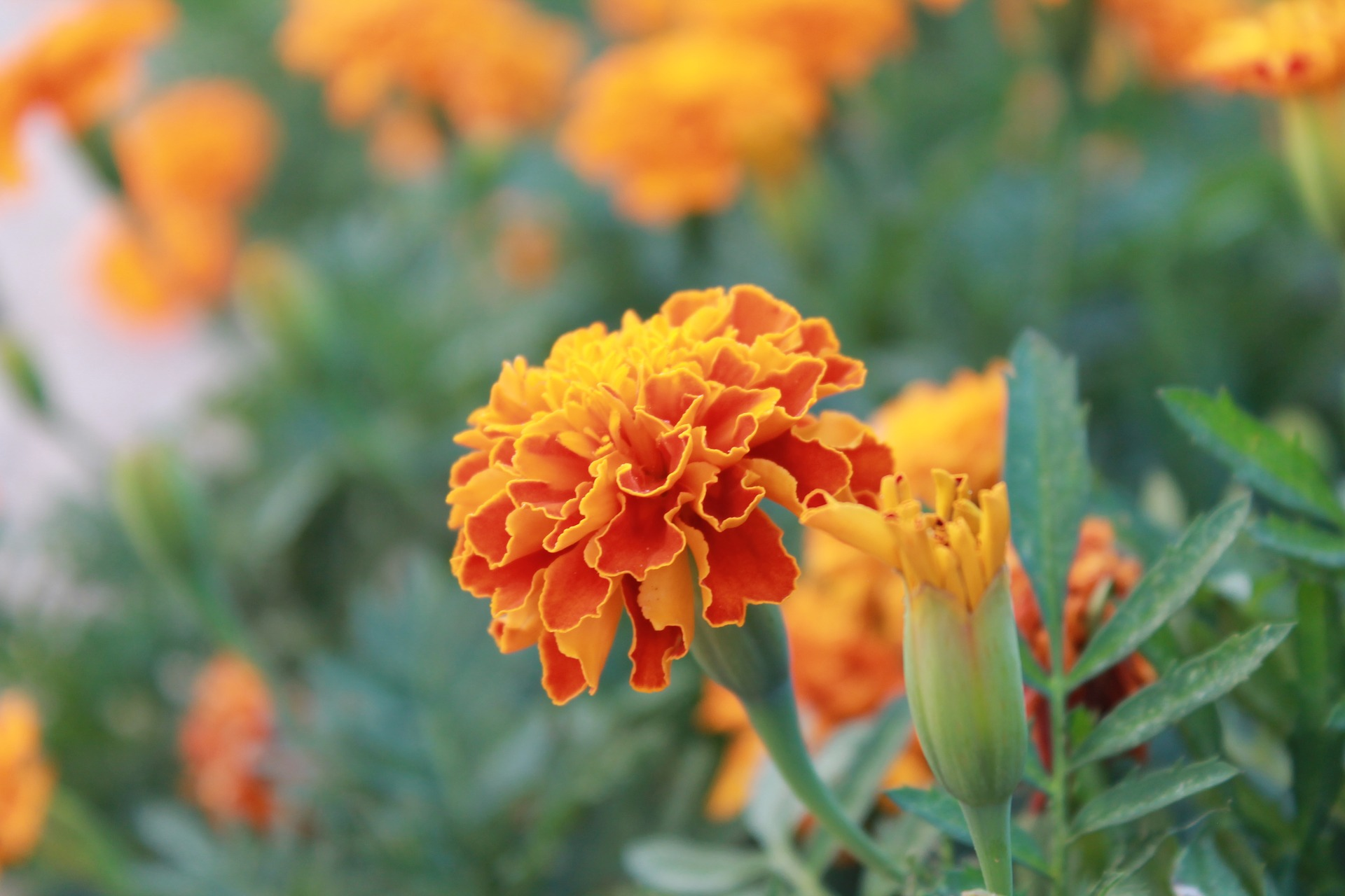 You might consider squeezing in some space to grow some of these flowers in your vegetable garden. They will add some color and help your plants thrive!