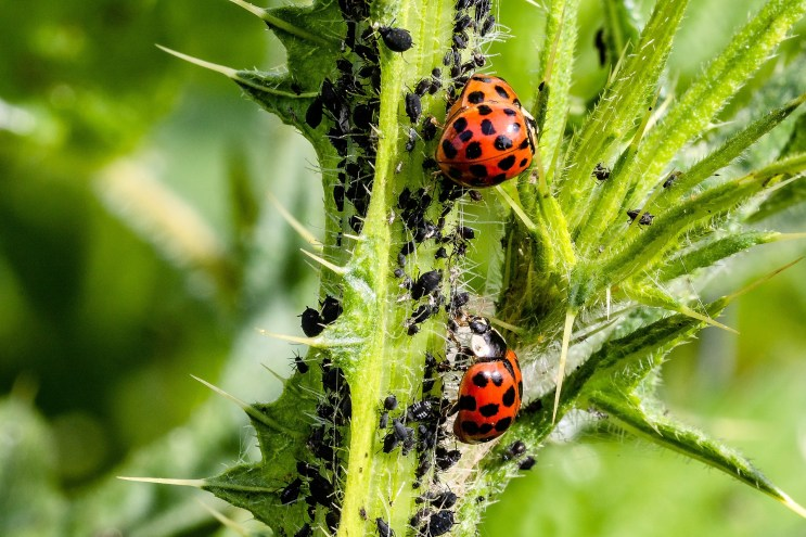 Aphids are notorious for sucking the life out of many plants. If you have a backyard garden, take note of these natural ways to get rid of aphids.