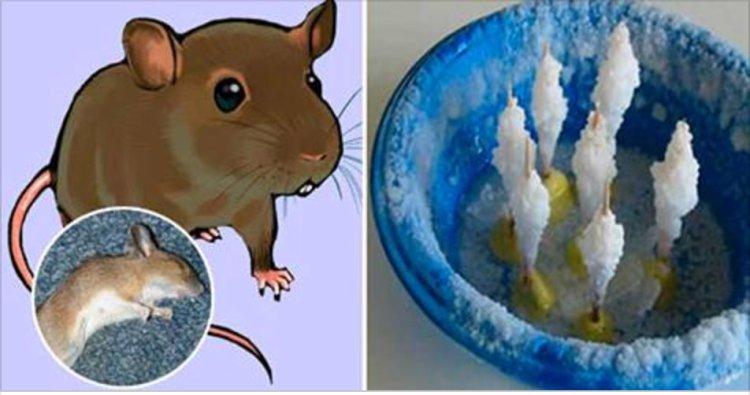 ratos_-_novo
