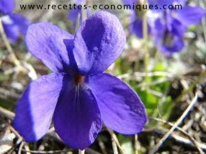 violettes nature (1)