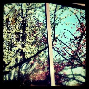 spring blossoms reflected