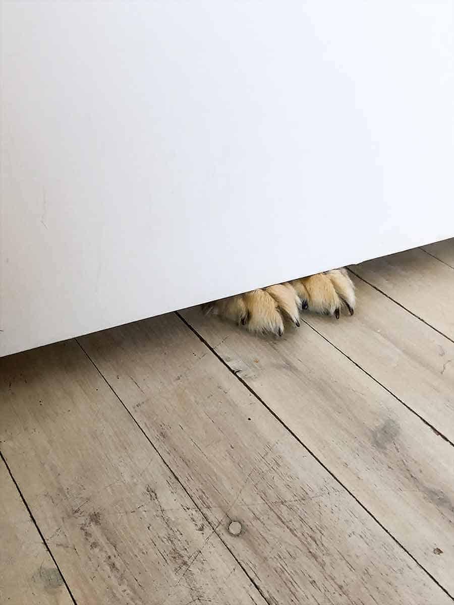 Dozer the golden retriever dog paws under door