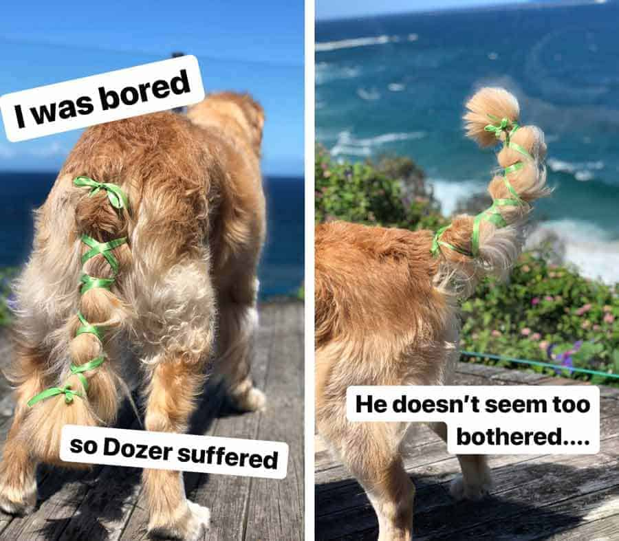 Dozer the golden retriever dog with ribbon in tail