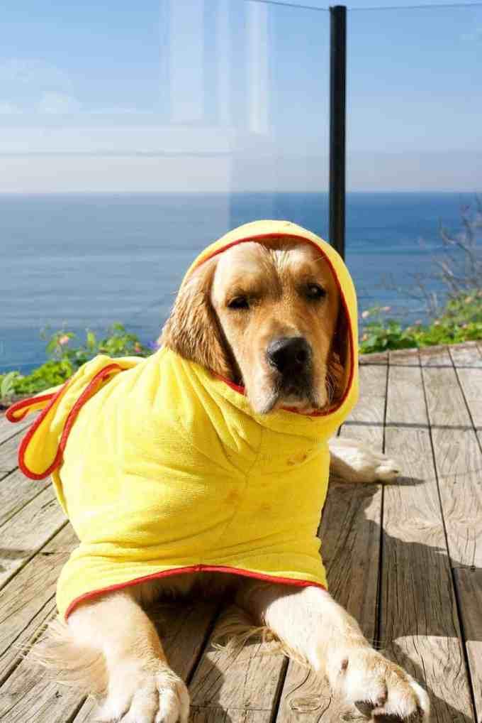 Dozer in bath robe. Cute or ridiculous?? :)