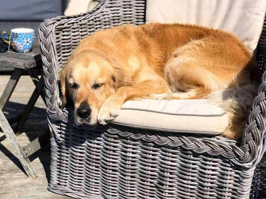 Dozer the golden retriever curled up in armchair on outdoor deck