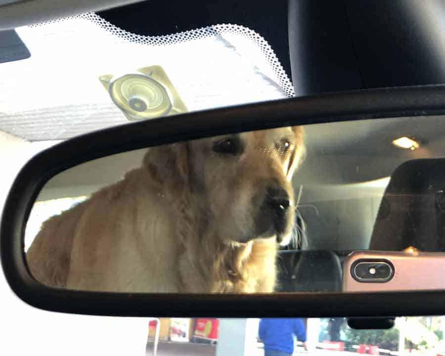 Dozer the golden retriever dog in car blocking rear vision