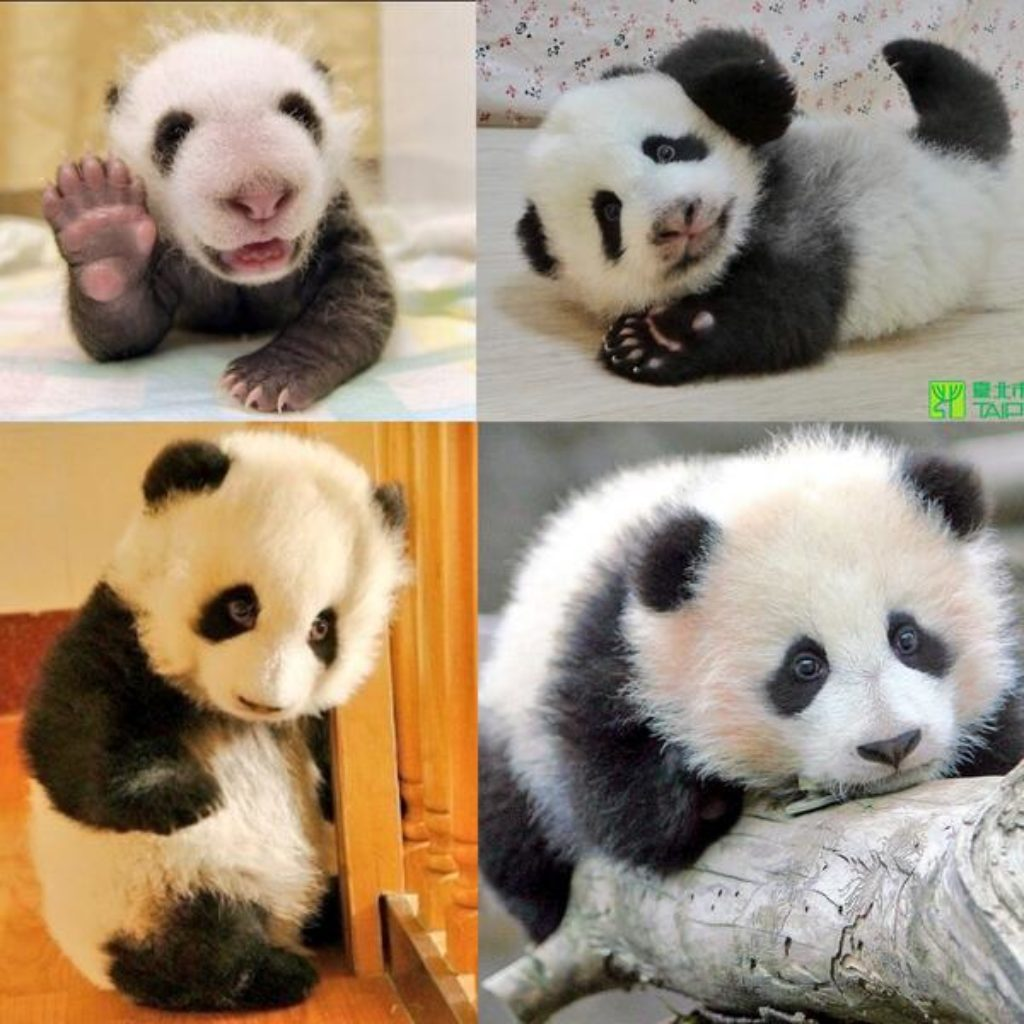15 Amazing Sweet Pictures Of Cute Baby Giant Panda Bear