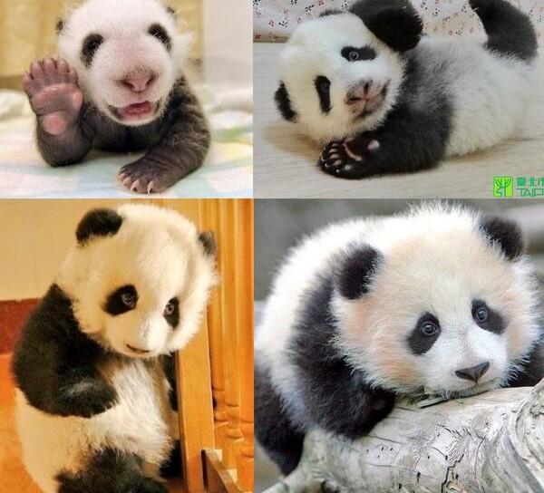 Cute Koala Wallpaper 15 Amazing Sweet Pictures Of Cute Baby Giant Panda Bear