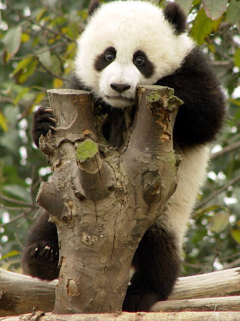 Cute And Funny Baby Koala Wallpaper 15 Amazing Sweet Pictures Of Cute Baby Giant Panda Bear