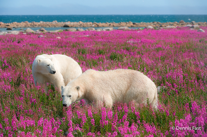 12 Adorable Pics Of Polar Bears Playing In Flower Fields