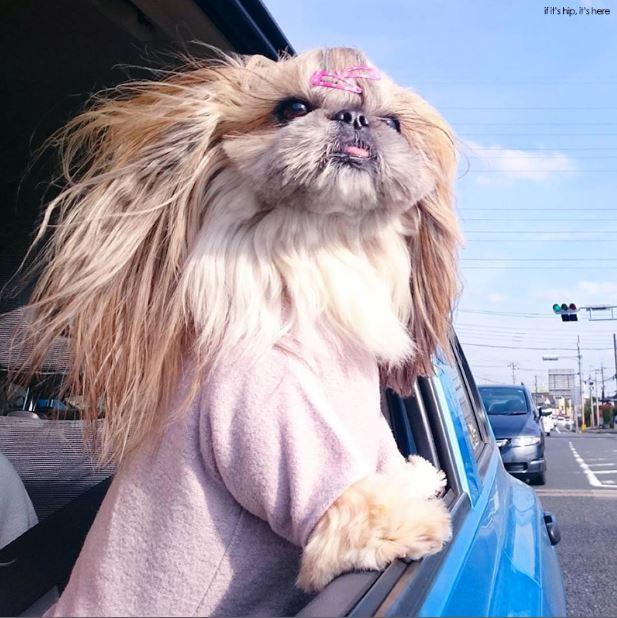 15 Cutest Photo Of Japanese Hairstyle Dog Kuma Instagram