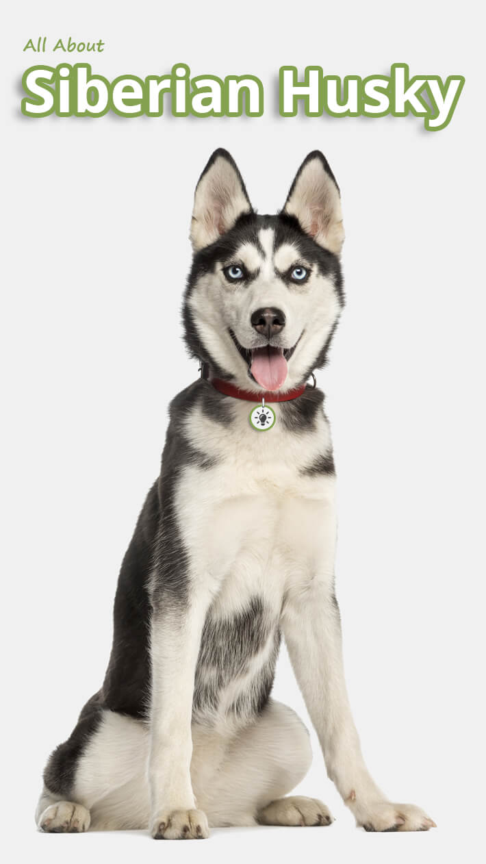 All About Siberian Husky