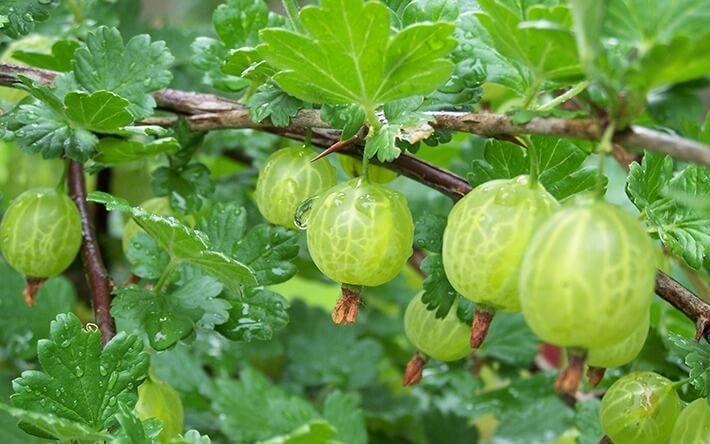 Growing Berries In Raised Beds