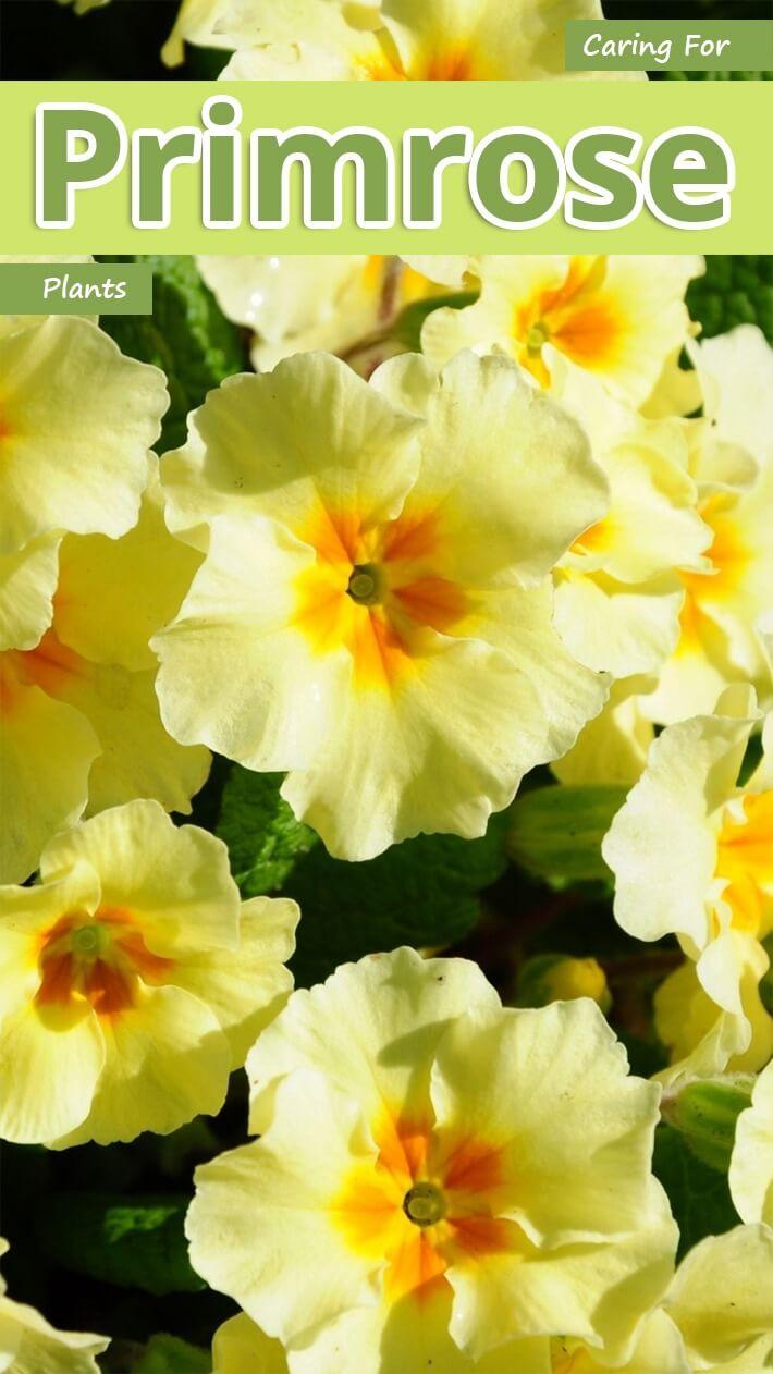 Caring For Primrose Plants