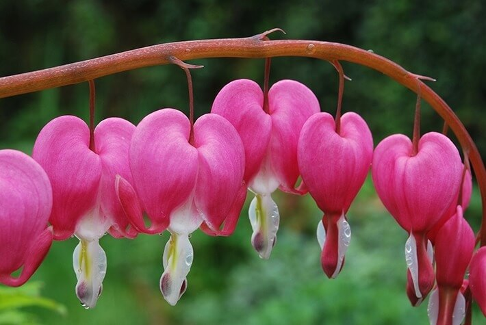 Grow Bleeding Heart