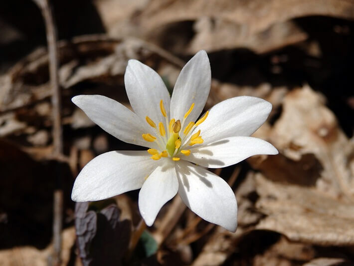 Growing Bloodroot in the Home Garden
