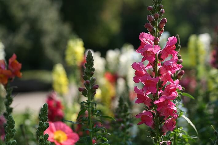Growing and Caring for Dazzling Snapdragons