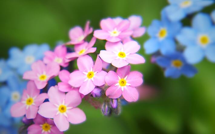 How To Grow Forget-Me-Nots