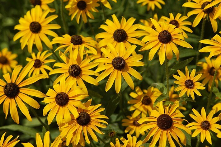 How to Grow Black Eyed Susans
