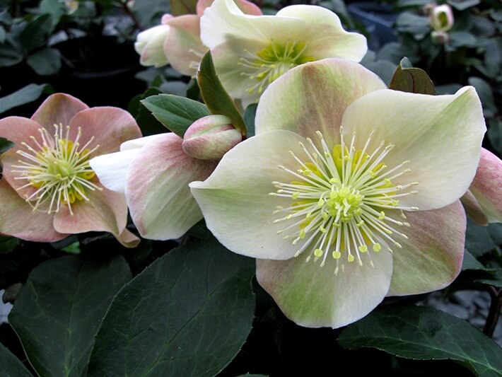 How to Grow & Care for Hellebore Flowers