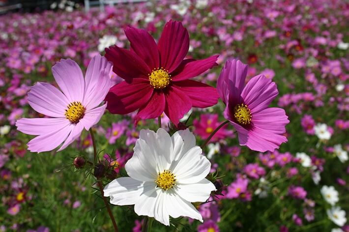 How to Grow Cosmos