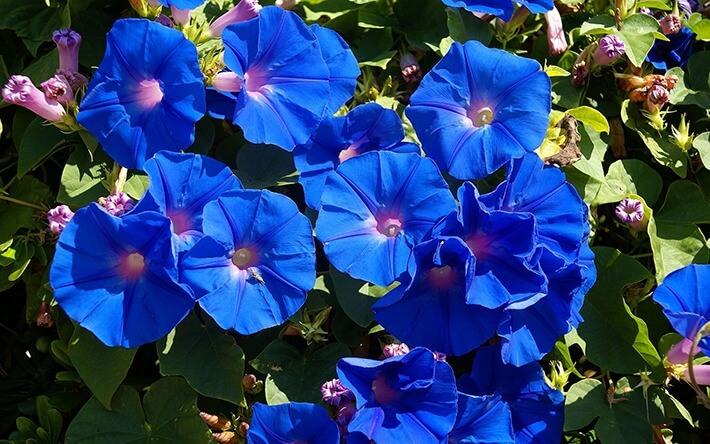How to Grow Virginia Bluebells