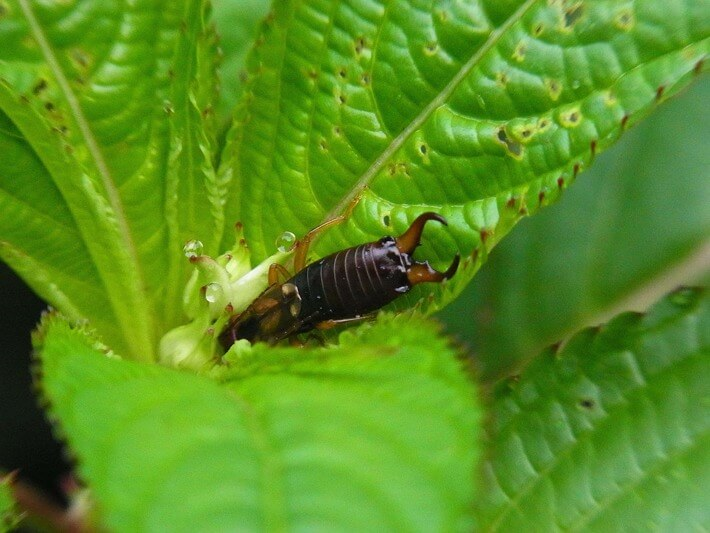 How to Get Rid of Earwigs