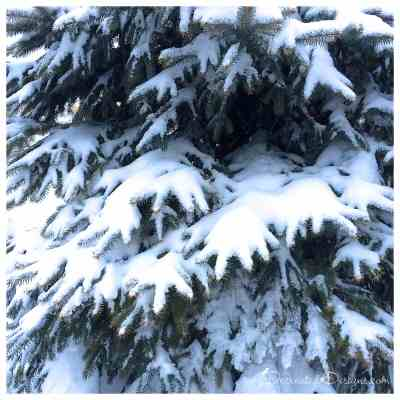 evergreen-tree-winter