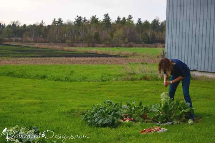picking rhubard on the Orr homestead in Hemmingford, Quebec