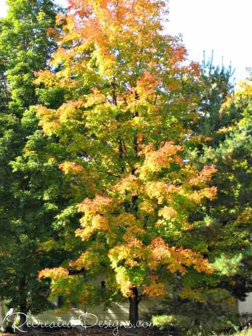 yellow tree in the early fall in Ontario, Canada