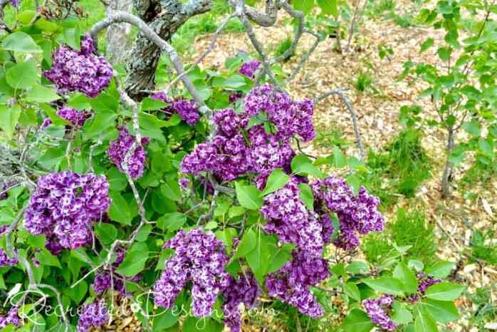 deep purple lilac blooms May in Niagara Falls