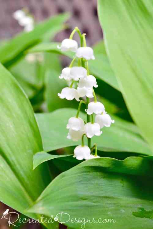 lily-of-the-valley bloom Niagara