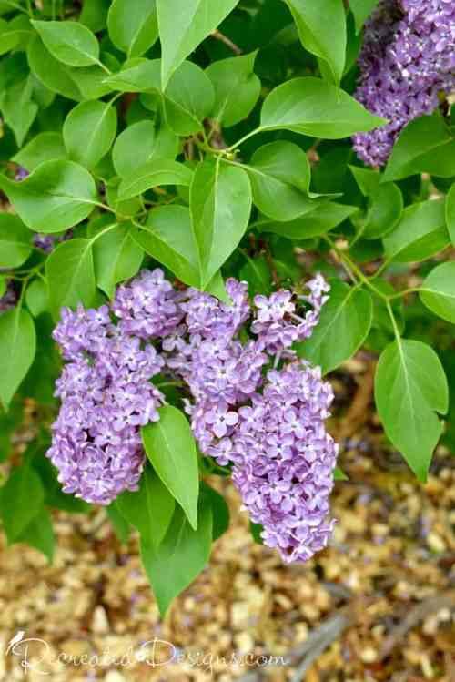 lilac bloom Niagara region in Spring
