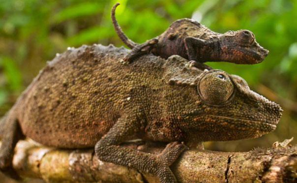 iguanas en el arbol