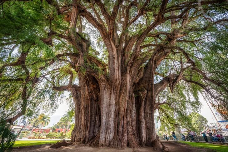 impresionante árbol del tule en Oaxaca