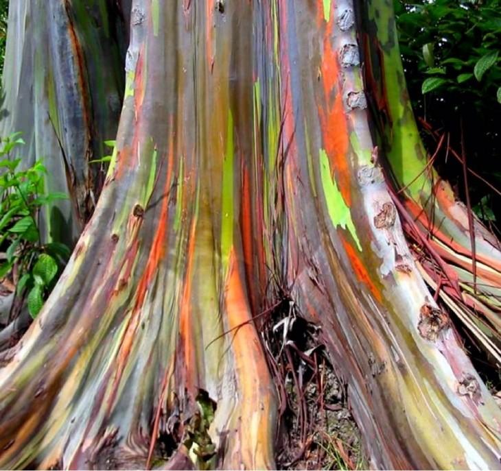 Arbolo de eucalipto que se da en Hawaii con un tronco de colores como el arcoiris