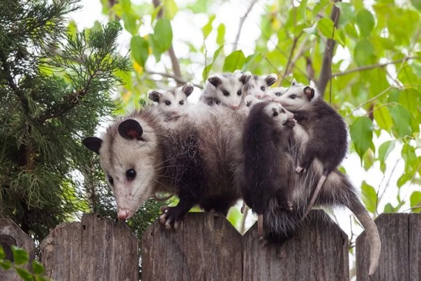 madre rata con sus hijos