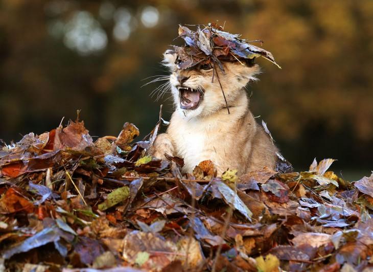 Fall Leaves Desktop Wallpaper 25 Animales Que Fallaron En El Intento De Verse Feroces