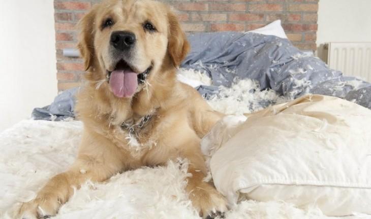 Perro golden sobre una cama a lado de una almohada destrozada