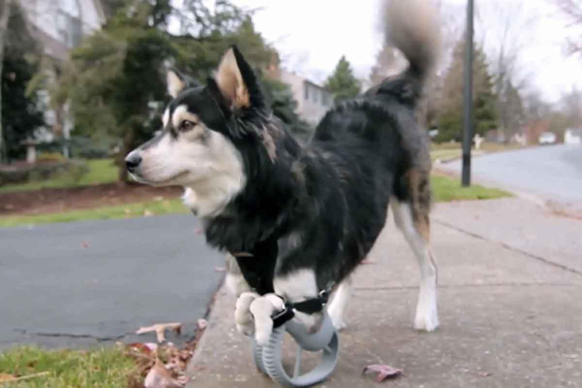 Impresion 3d permite a un perro caminar y correr