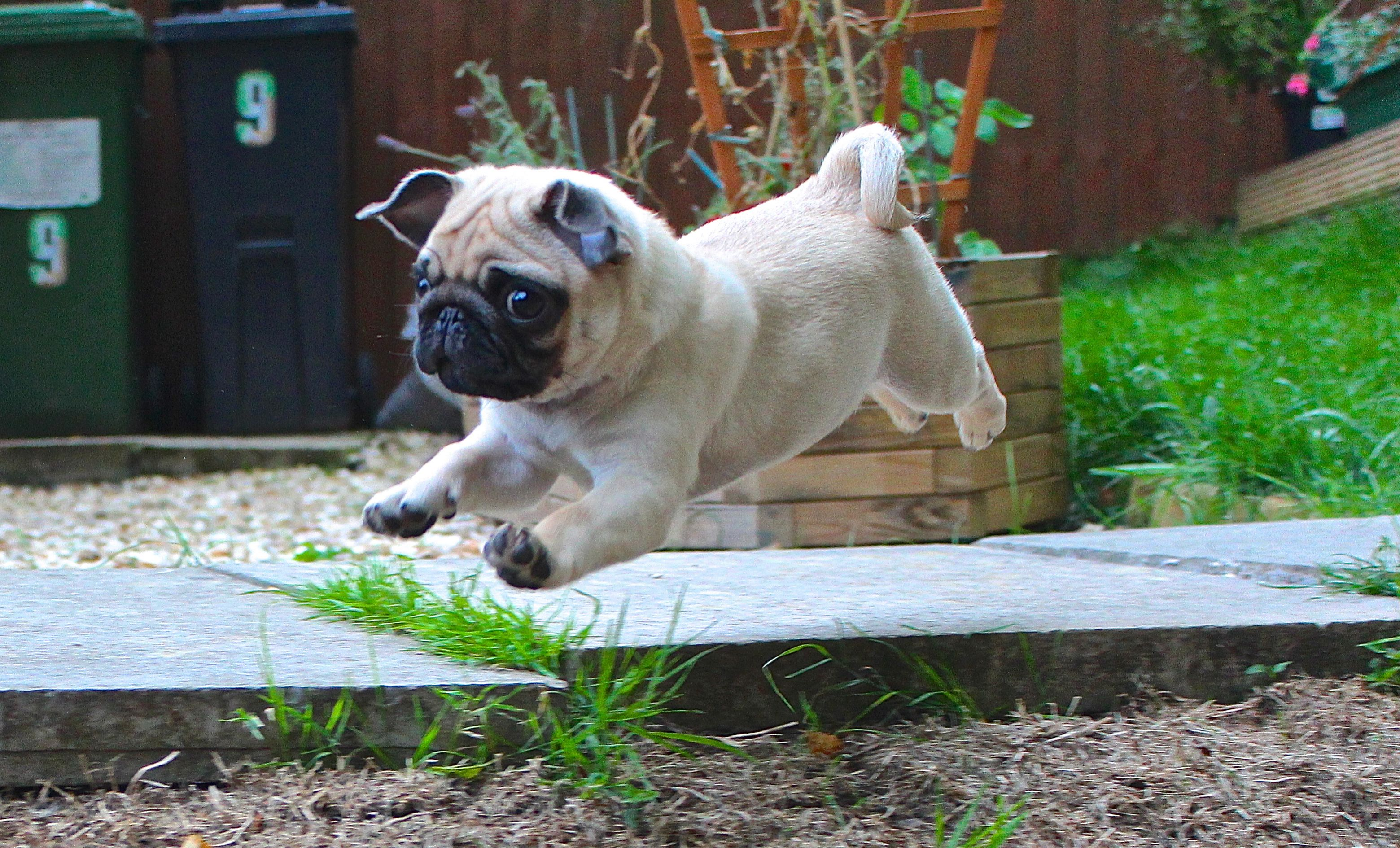 Cute Dog Puppy Wallpapers 20 Cosas Que S 243 Lo Podr 225 N Entender Qui 233 N Tenga Un Pug En Casa