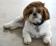 perros el corte de pelo