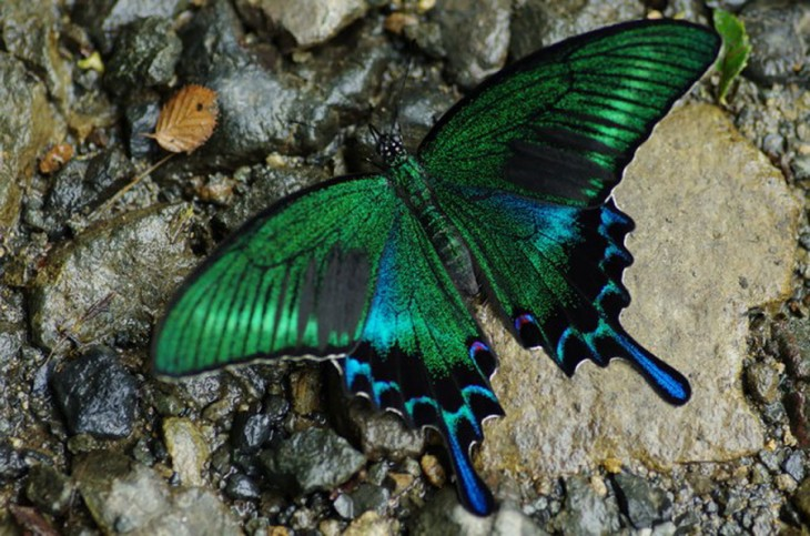 Mariposa Swallowtail color verde con azul