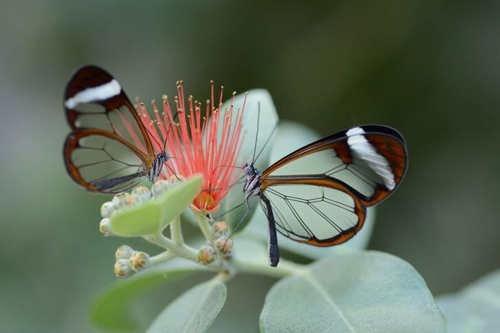 Mariposa alas de cristal sobre unas hojas verdes