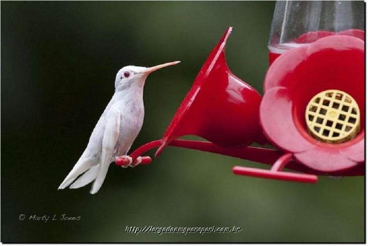 colibri blanco comiendo