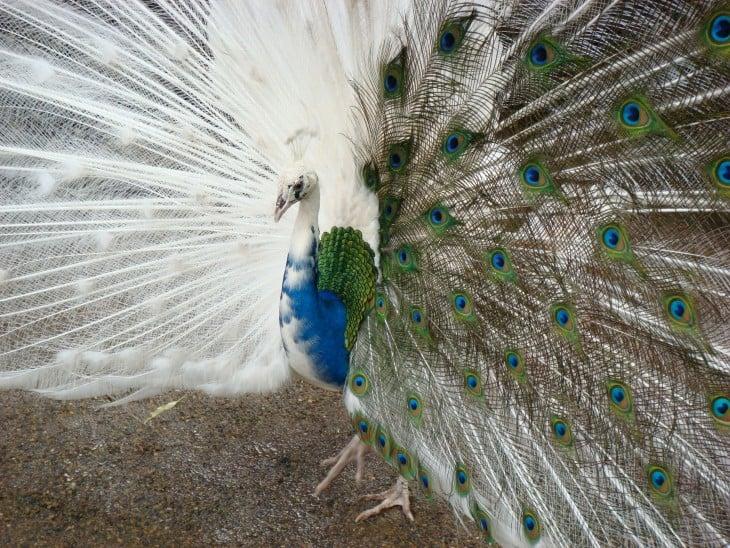 pavo real mitad blanco