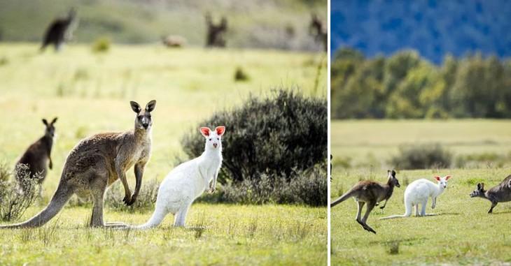 canguro blanco y otro marron